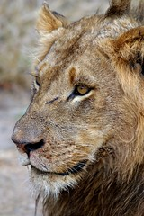 cheetah(0.0), small to medium-sized cats(0.0), puma(0.0), animal(1.0), mane(1.0), big cats(1.0), masai lion(1.0), lion(1.0), snout(1.0), fauna(1.0), close-up(1.0), carnivoran(1.0), whiskers(1.0), wildlife(1.0),