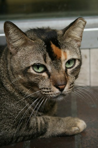 Can Neutered Cats Be Affected By Heat Pheramones