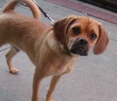 dog breed(1.0), animal(1.0), dog(1.0), puggle(1.0), pet(1.0), carnivoran(1.0),
