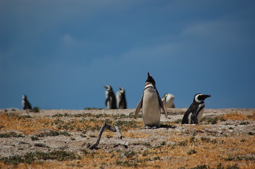 Penguins in Argentina