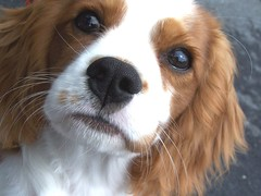 dog breed, nose, animal, kooikerhondje, dog, welsh springer spaniel, pet, king charles spaniel, spaniel, cavalier king charles spaniel, american cocker spaniel, carnivoran,