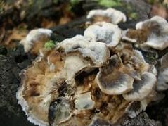 oyster(0.0), agaricaceae(0.0), matsutake(0.0), shiitake(0.0), medicinal mushroom(1.0), oyster mushroom(1.0), mushroom(1.0), fungus(1.0), hen-of-the-wood(1.0),