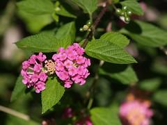 shrub, flower, leaf, plant, flora, produce, lantana camara,