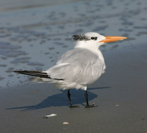 "Royal Tern or ""Sterna maxima"""