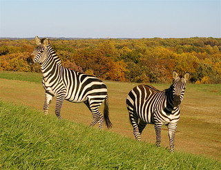 Zebra Twins: Rear to Rear