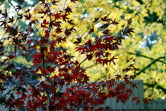red maple leaves, yellow maple leaves    MG 4792
