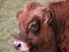 cattle-like mammal, animal, bull, mammal, horn, ox, fauna, close-up, cattle, pasture, wildlife,
