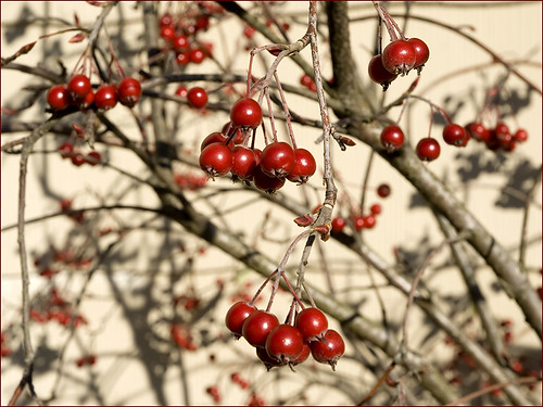 red winter berries by Alida's Photos