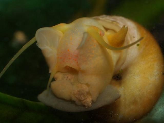 Apple Snail Flickr - Photo Sharing!