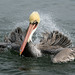 California Brown Pelican; Pelecanus occidentalis californicus by MissionPhotography