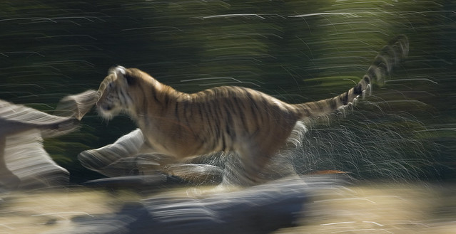 Tiger Chase by Tancread, on Flickr