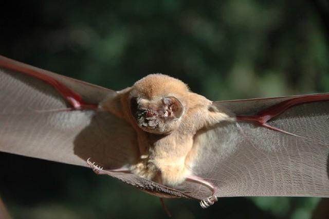 Ghost-faced bat (Mormoops megalophylla) | Flickr - Photo ...