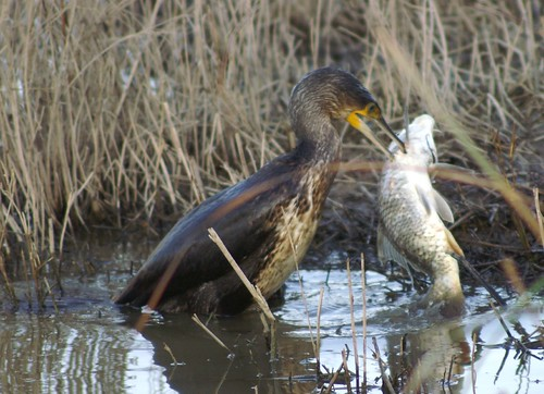 cormoran comiendose una carpa 06 - great cormorant eating up a great carp