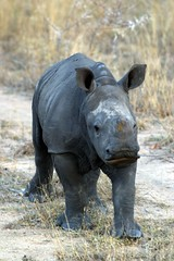 animal, rhinoceros, fauna, safari, wildlife,