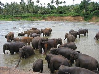 Elephants from the Pinnawala orphanage bathing, Sri Lanka