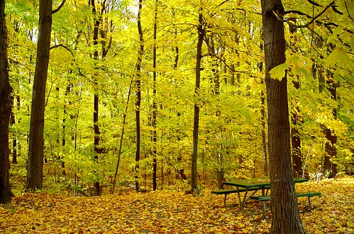 autumn trees light fall leaves yellow forest landscape gold golden woods foliage explore newyorkstate 375