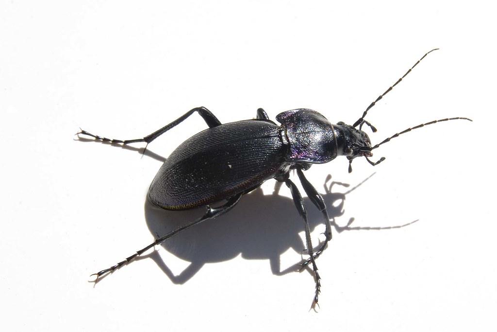 Big black beetle bug a photo on flickriver big black beetle bug sciox Images