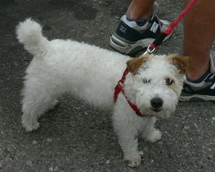 dog breed, animal, dog, schnoodle, pumi, pet, lagotto romagnolo, glen of imaal terrier, wire hair fox terrier, parson russell terrier, west highland white terrier, carnivoran, terrier,