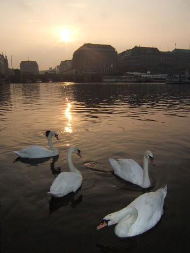 sunset animal germany swan hamburg alster 日落 天鹅 汉堡 阿尔斯特湖