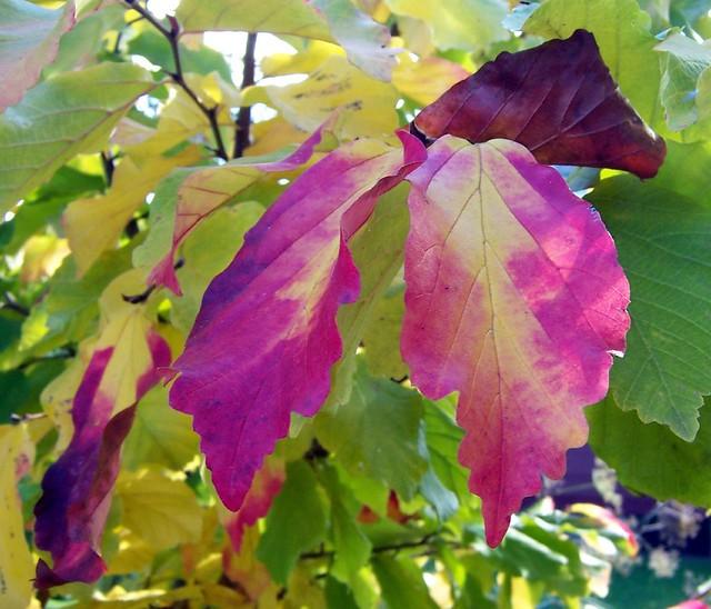 Parrotia foliage