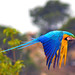Blue and Gold Macaw in Flight by sypix