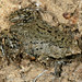 Great Plains Narrow-mouthed Toad - Photo (c) Patrick Coin, some rights reserved (CC BY-NC-SA)