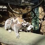 Lemur catta skansen 2006