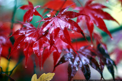 red maple leaves    MG 4798