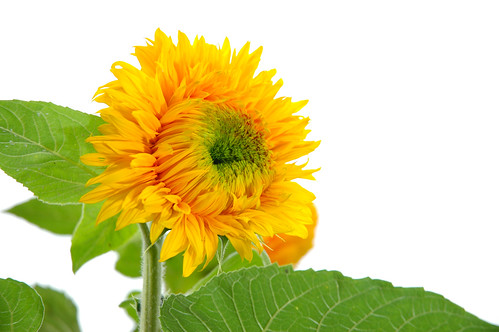 The Singing Sunflower