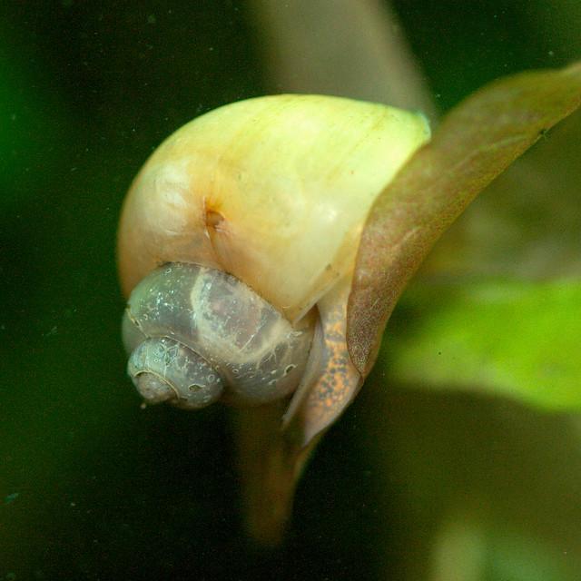 Ivory apple snail Flickr - Photo Sharing!
