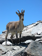 deer(0.0), white-tailed deer(0.0), bighorn(0.0), animal(1.0), mammal(1.0), fauna(1.0), mountain goat(1.0), chamois(1.0), wildlife(1.0),