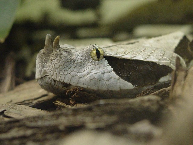 Horned Viper at Phoenix Zoo | Flickr - Photo Sharing!