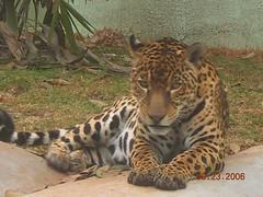 executive car(0.0), ocelot(0.0), wildlife(0.0), animal(1.0), big cats(1.0), zoo(1.0), mammal(1.0), jaguar(1.0), fauna(1.0),