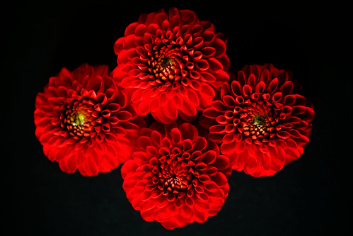 Four red dahlias