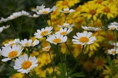 annual plant, prairie, flower, field, yellow, plant, marguerite daisy, nature, chamaemelum nobile, tanacetum parthenium, daisy, macro photography, wildflower, flora, oxeye daisy, meadow, daisy, petal,