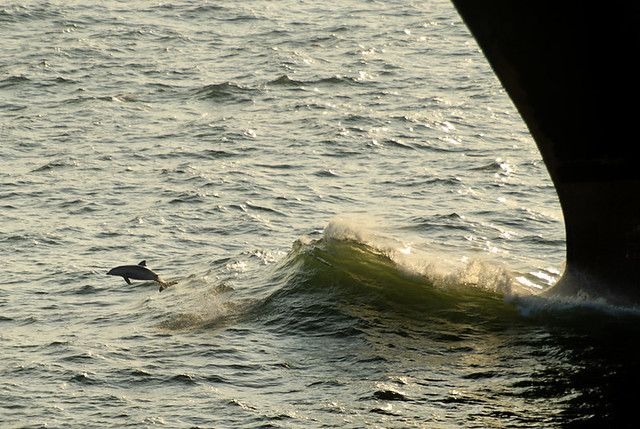 Porpoise and Bow Wave