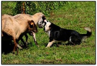 Concurs de gossos d'atura, Castellterçol