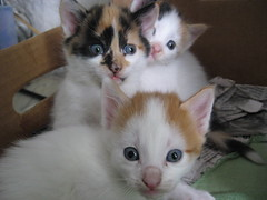 animal, turkish van, kitten, small to medium-sized cats, pet, ragdoll, cat, carnivoran, whiskers, domestic short-haired cat,