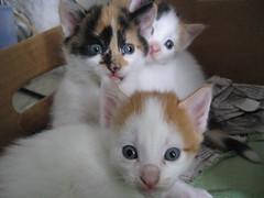 domestic long-haired cat(0.0), european shorthair(0.0), snowshoe(0.0), turkish angora(0.0), norwegian forest cat(0.0), balinese(0.0), manx(0.0), animal(1.0), turkish van(1.0), kitten(1.0), small to medium-sized cats(1.0), pet(1.0), ragdoll(1.0), cat(1.0), carnivoran(1.0), whiskers(1.0), domestic short-haired cat(1.0),