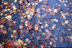maple leaves in our street    MG 4505