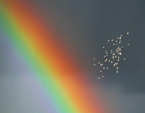 Regenbogen-Tauben