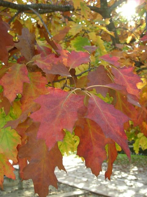 Roble rojo - Quercus Rubra 0009 - Spain - Barcelona - Sant Cugat del Valles - Pje Antoni Gaudi - Biblioteca