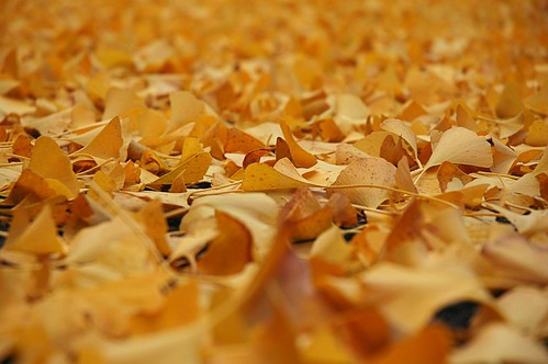 A blanket of ginkgo leaves