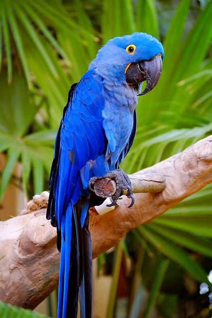 pin blue macaw bird - photo #40