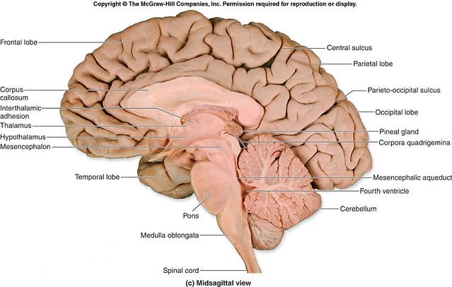 cross section human brain 1 intracranial flickr