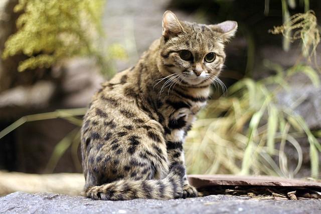 Black Footed Cat Habitat