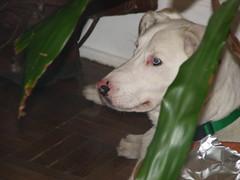bulldog(0.0), animal(1.0), pit bull(1.0), dog(1.0), dogo argentino(1.0), pet(1.0), american pit bull terrier(1.0), gull terr(1.0), carnivoran(1.0), terrier(1.0),