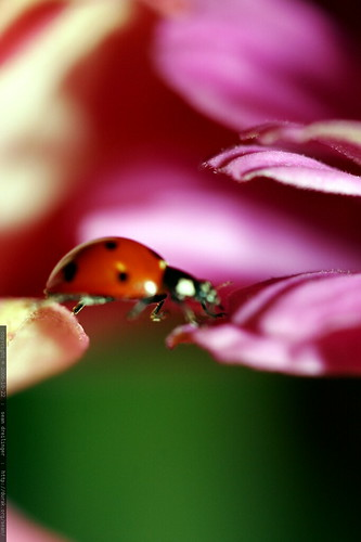 ladybug traversing flowers    MG 2683