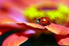 ladybug on a pink zinnia    MG 2781