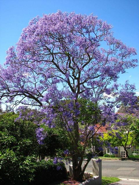 jacaranda tree | Flickr - Photo Sharing!